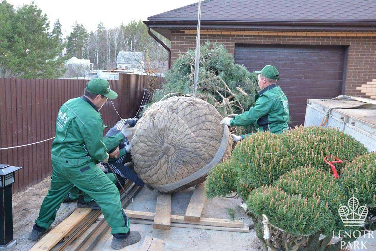 Посадка крупномерных деревьев около дома