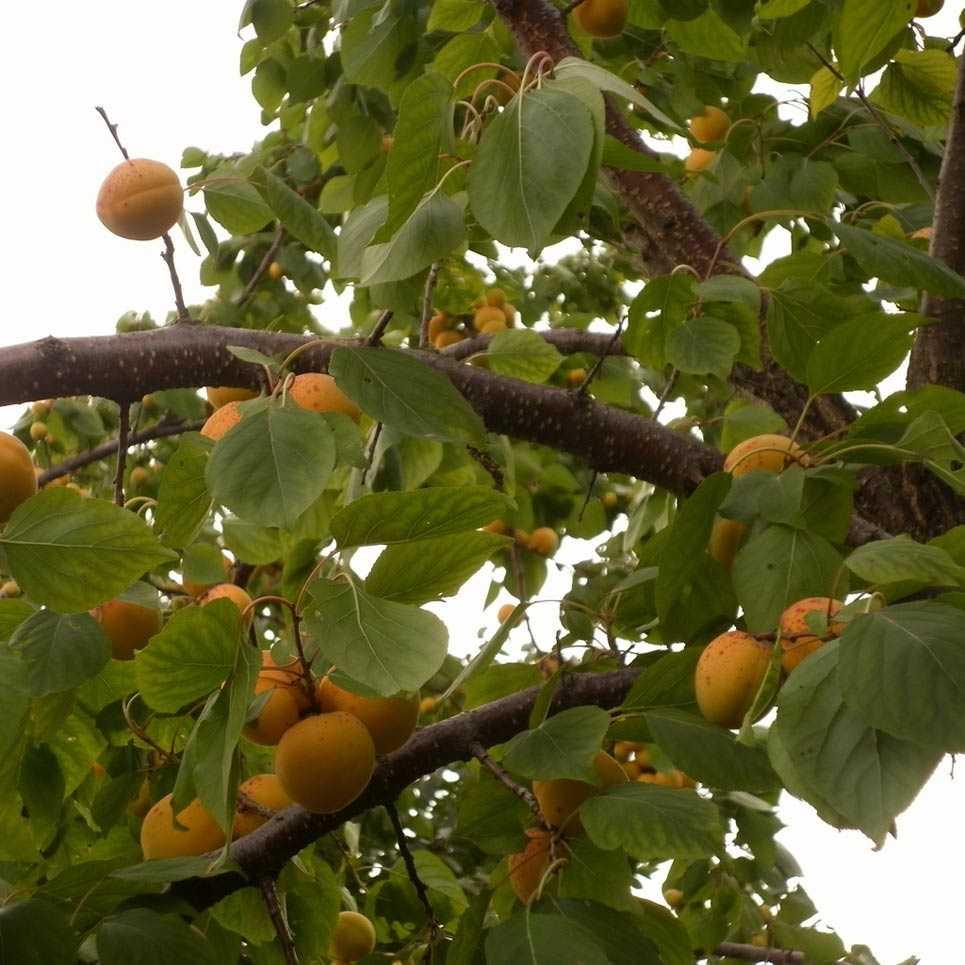 Болезни абрикосовых деревьев