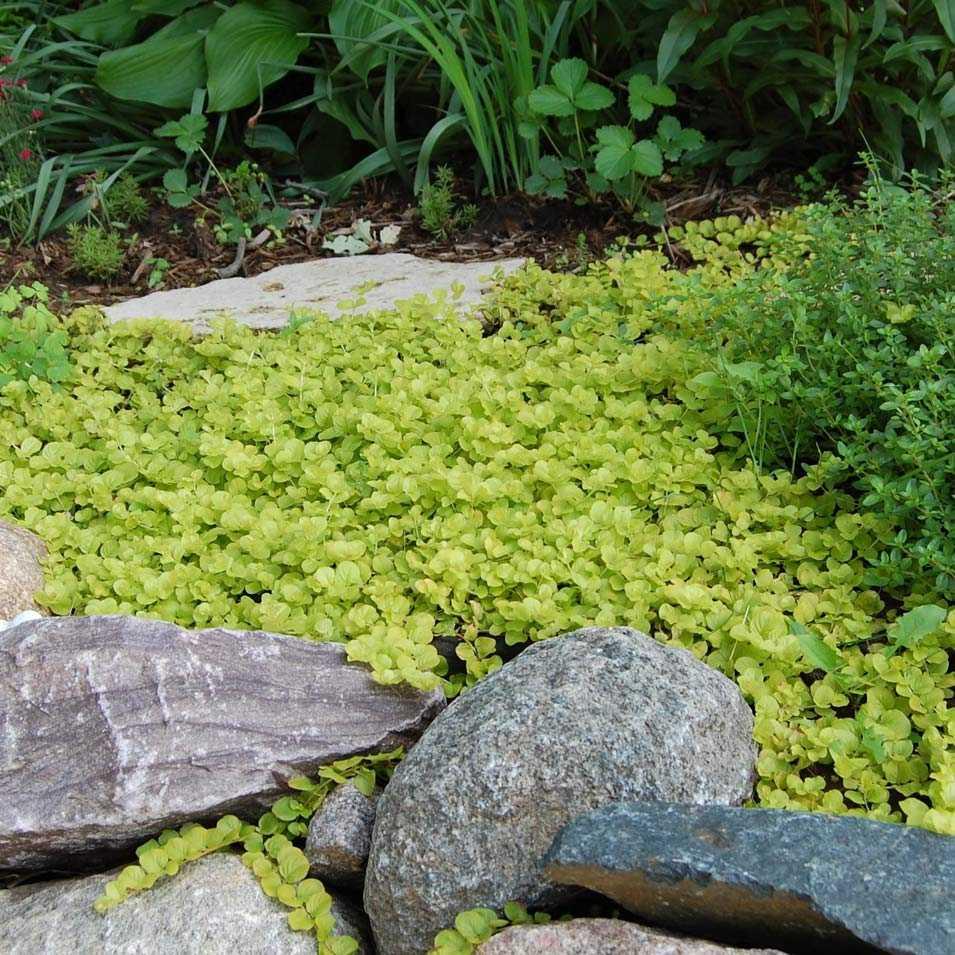 газон из почвопокровных растений