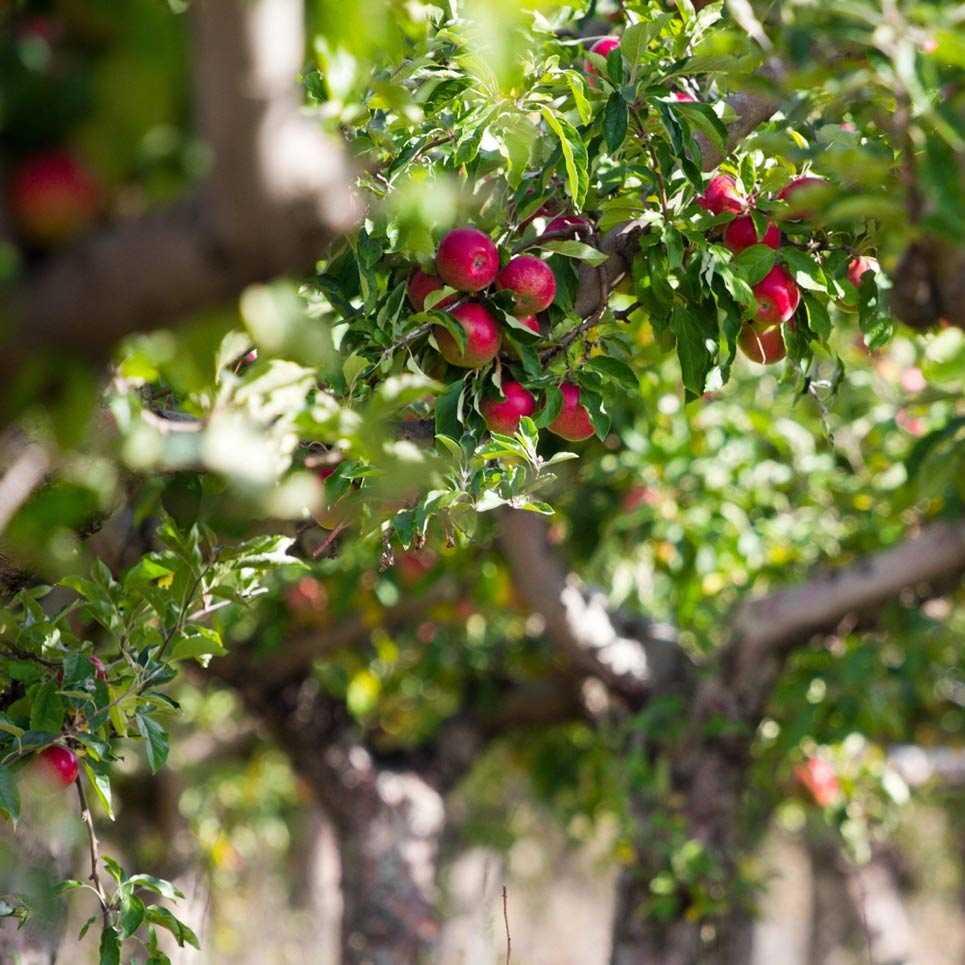 Яблоневый сад летом